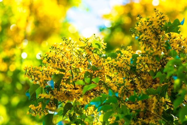 Mùa hoa sưa Tam Kỳ