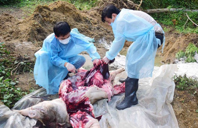 Xuất hiện thêm ổ dịch tả lợn mới ở Thừa Thiên Huế - 1
