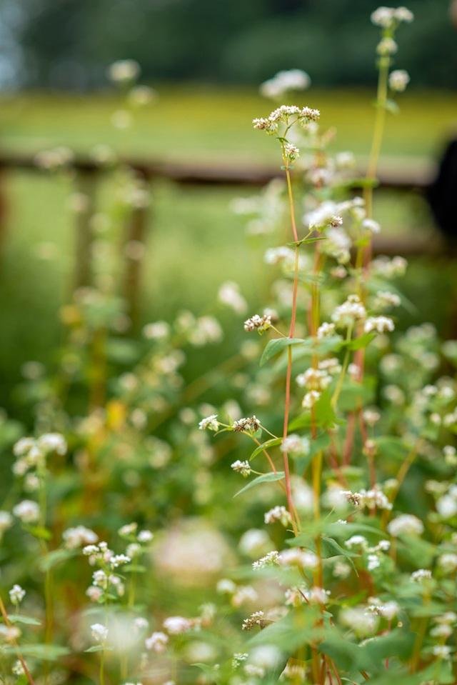 Mãn nhãn vườn hoa tam giác mạch gần 1 héc ta ở Hà Nội hút khách tham quan - 9