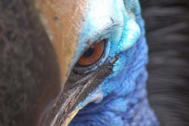Người đàn ông ở Mỹ thiệt mạng do bị chim Cassowary khổng lồ tấn công - 1