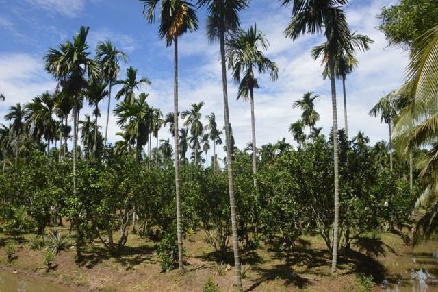 Sóc Trăng: Giảm trồng mía, người dân tạo thu nhập từ cây trồng khác - 2