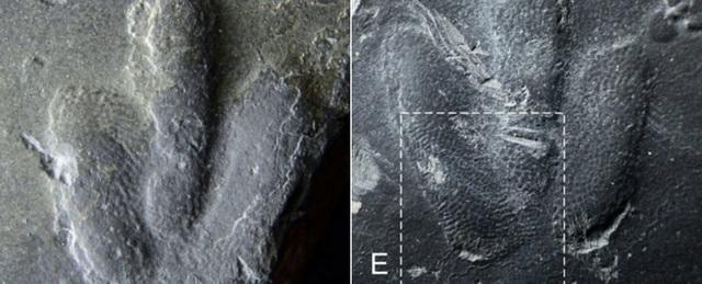 Tìm thấy dấu chân khủng long được bảo tồn hoàn hảo cực hiếm - 1