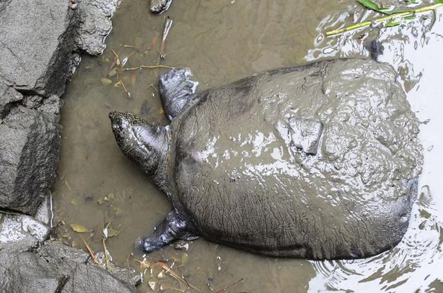 Rùa mai mềm Thượng Hải đứng trước nguy cơ tuyệt chủng không thể cứu vãn - 1