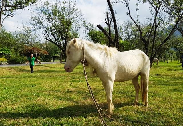 Ngắm đàn bạch mã gặm cỏ trong vườn đào đẹp như tranh ở Khánh Hòa - 1