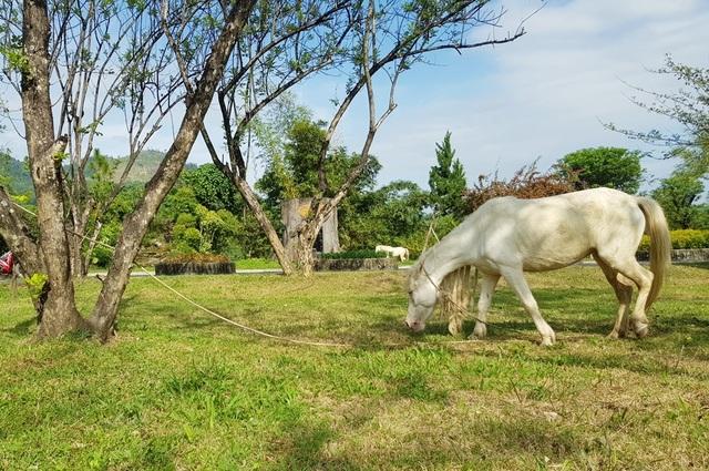Ngắm đàn bạch mã gặm cỏ trong vườn đào đẹp như tranh ở Khánh Hòa - 3