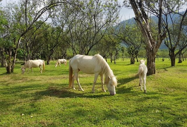 Ngắm đàn bạch mã gặm cỏ trong vườn đào đẹp như tranh ở Khánh Hòa - 2