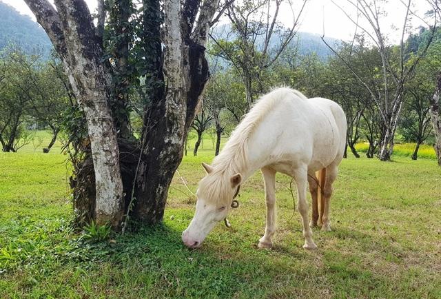 Ngắm đàn bạch mã gặm cỏ trong vườn đào đẹp như tranh ở Khánh Hòa - 4