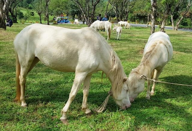 Ngắm đàn bạch mã gặm cỏ trong vườn đào đẹp như tranh ở Khánh Hòa - 5