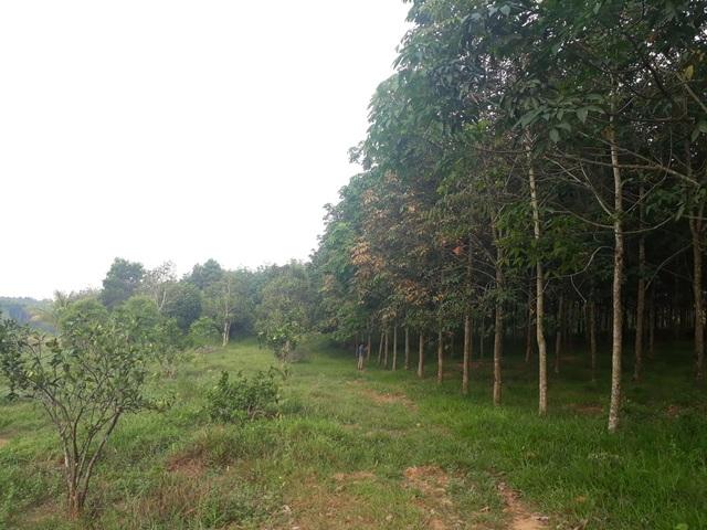 Công ty lâm nghiệp để mất gần 1.000 ha rừng, Giám đốc chiếm đất làm trang trại? - 5