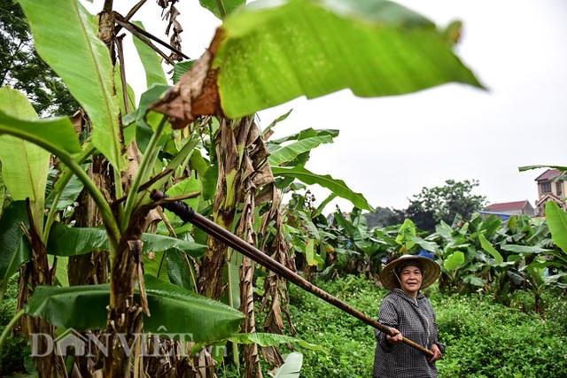 Vào rừng hái lá chuối bán 10.000 đồng/kg hết vèo - 2