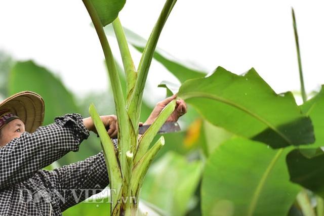 Vào rừng hái lá chuối bán 10.000 đồng/kg hết vèo - 4