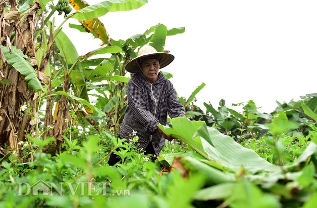 Vào rừng hái lá chuối bán 10.000 đồng/kg hết vèo - 5