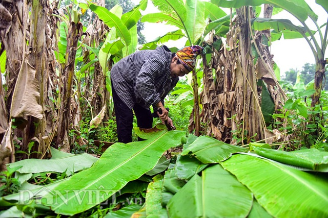 Vào rừng hái lá chuối bán 10.000 đồng/kg hết vèo - 7