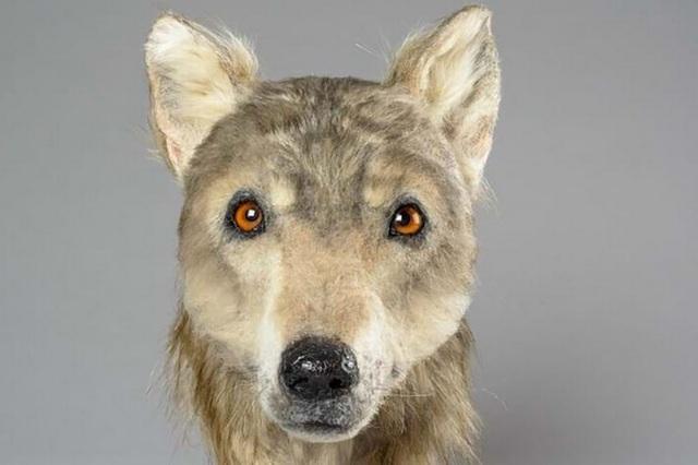 Tái hiện khuôn mặt của con chó 4.000 năm tuổi - 1