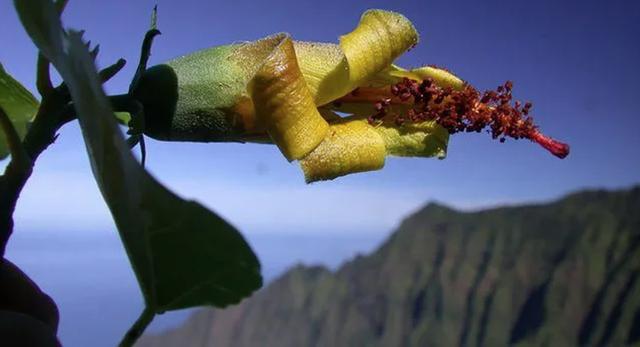 Thiết bị bay không người lái bất ngờ phát hiện loài hoa ở Hawaii được cho đã tuyệt chủng - 1