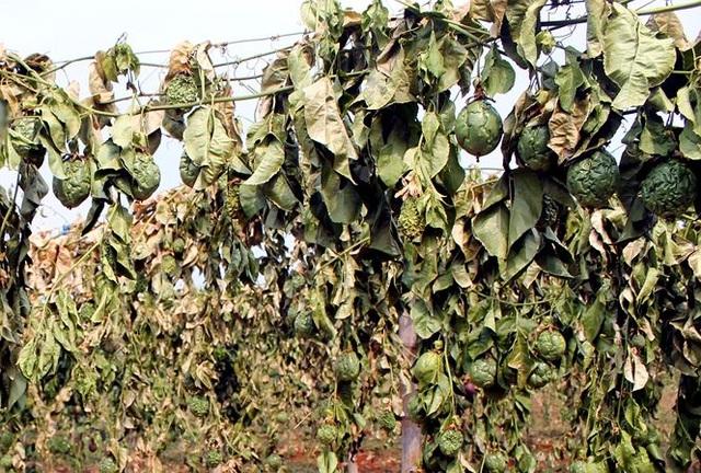 Cần xử nghiêm hành vi phá hoại nông sản, vật nuôi của nông dân - 1