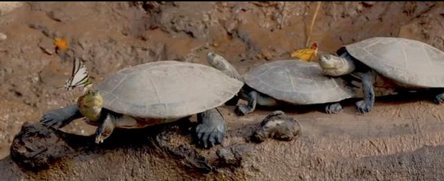 Kì lạ bướm uống nước mắt của rùa để sinh tồn - 1