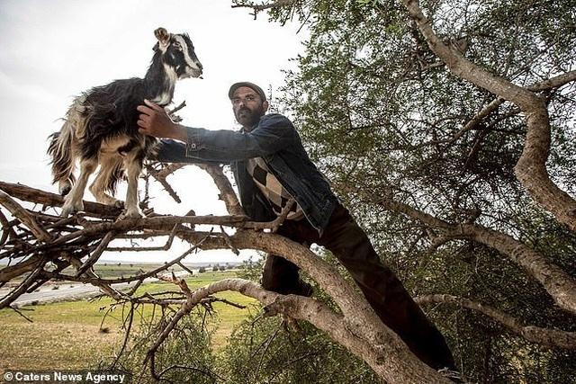Vạch trần sự thật gây sốc về đàn dê biết leo cây thoăn thoắt như khỉ - 2