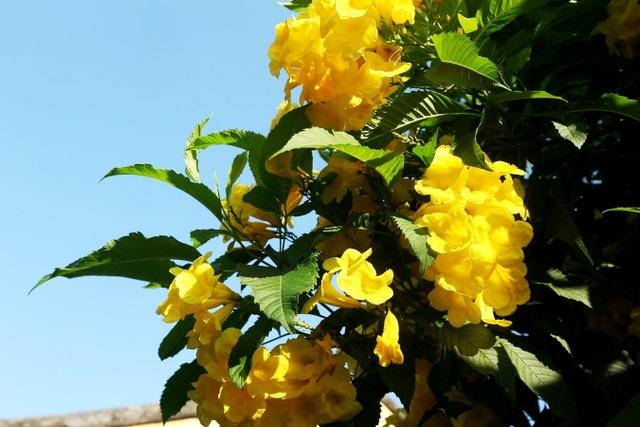 Hội An đẹp nao lòng khi trăm hoa khoe sắc chào hè! - 13