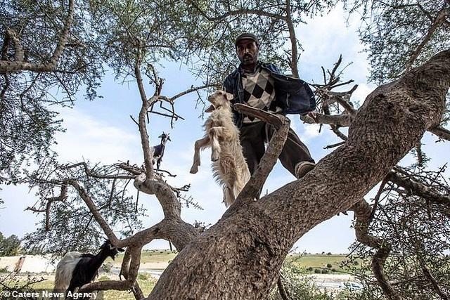 Vạch trần sự thật gây sốc về đàn dê biết leo cây thoăn thoắt như khỉ - 3