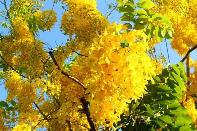 Hội An đẹp nao lòng khi trăm hoa khoe sắc chào hè! - 6