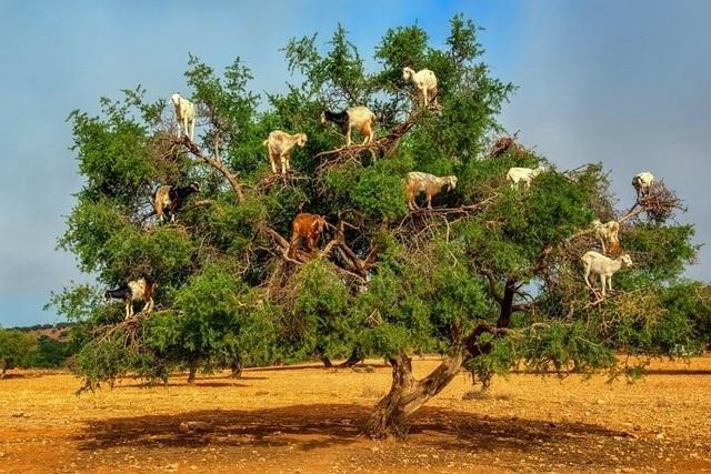 Vạch trần sự thật gây sốc về đàn dê biết leo cây thoăn thoắt như khỉ - 1