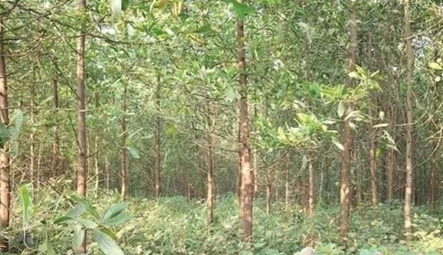 Trồng rừng bán tín chỉ cacbon ở Bắc Trung Bộ, cơ hội thu về hàng triệu USD - 1