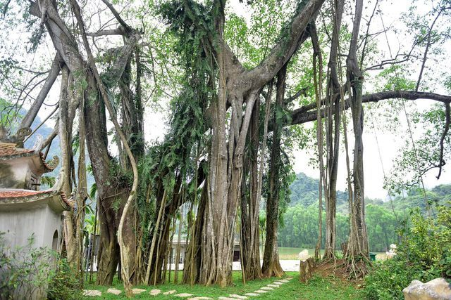 Close to smiling guava trees, the 300-year-old Banyan tree once moved