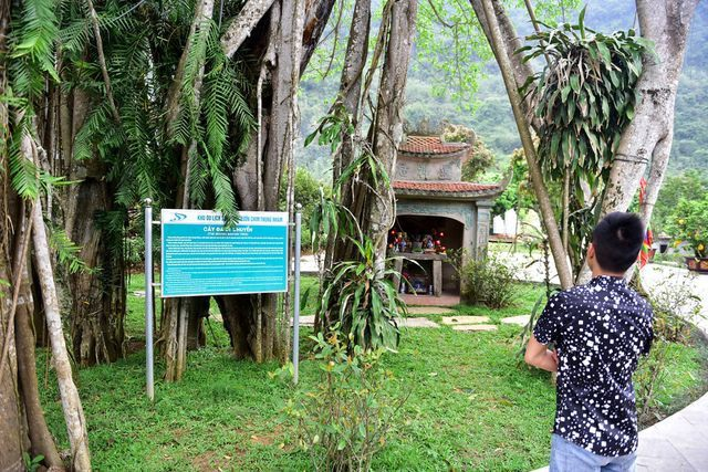 Close to smiling guavas trees, the 300-year-old Banyan tree is moving ever