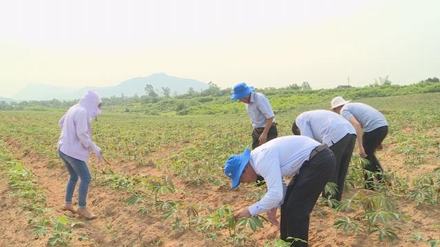 Người trồng sắn lao đao vì cây trồng nhiễm bệnh lạ - 3