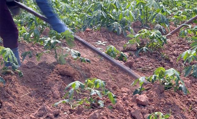 Người trồng sắn lao đao vì cây trồng nhiễm bệnh lạ - 2
