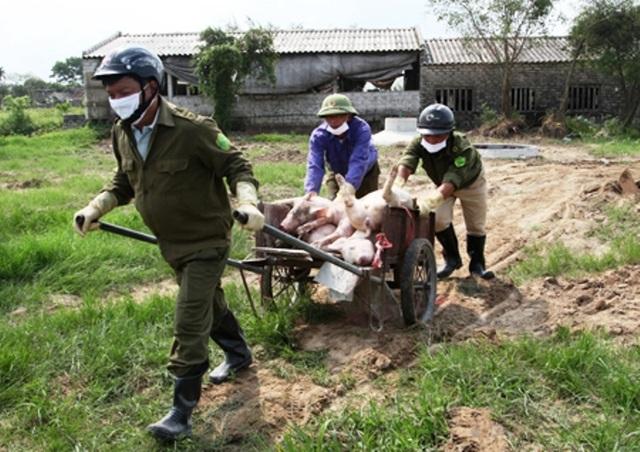 Dịch tả lợn Châu phi lan rộng, tỉnh Ninh Bình căng mình phòng chống - 1