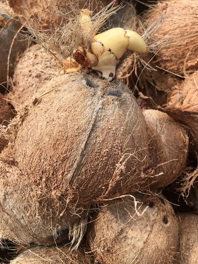 """Kỳ lạ """"mầm dừa"""" miền Tây đi """"chuyên cơ, chị em Hà Thành tranh nhau mua ăn vặt - 4"""