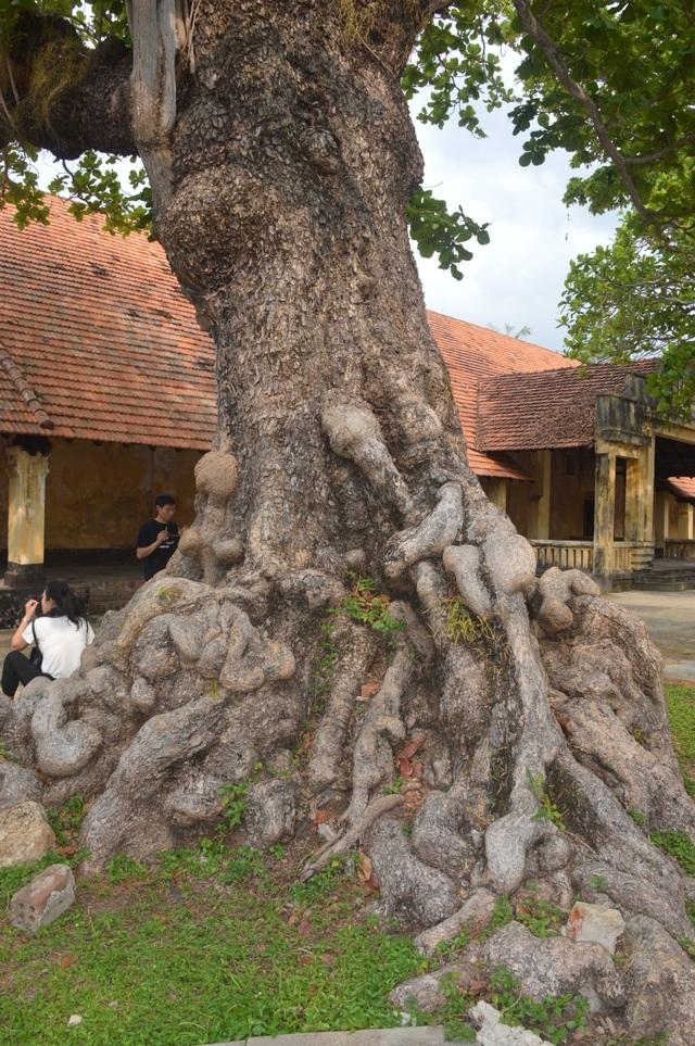 Chiêm ngưỡng những cây di sản Việt Nam ở Côn Đảo - 1