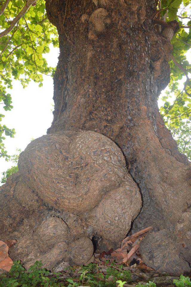 Chiêm ngưỡng những cây di sản Việt Nam ở Côn Đảo - 2