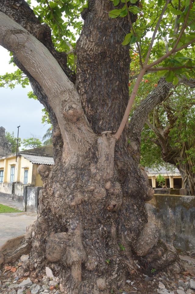 Chiêm ngưỡng những cây di sản Việt Nam ở Côn Đảo - 3