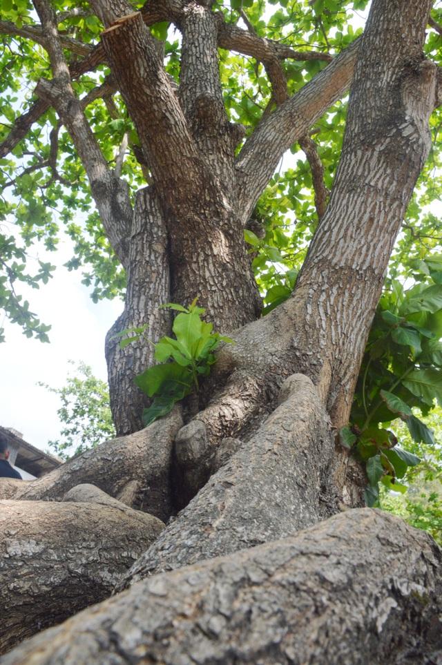Chiêm ngưỡng những cây di sản Việt Nam ở Côn Đảo - 4