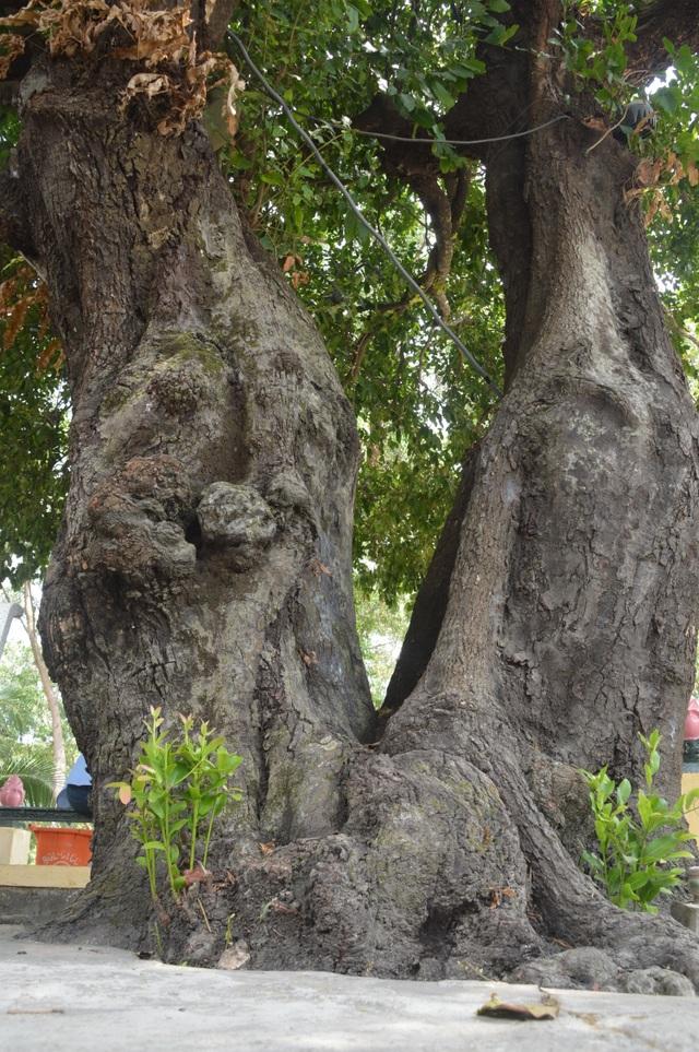 Chiêm ngưỡng những cây di sản Việt Nam ở Côn Đảo - 5