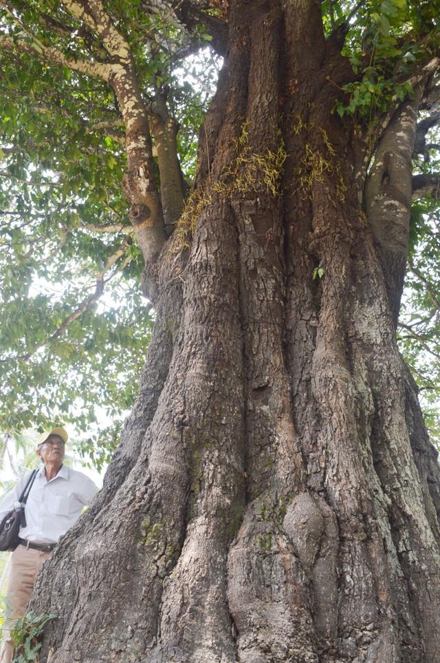 Chiêm ngưỡng những cây di sản Việt Nam ở Côn Đảo - 6