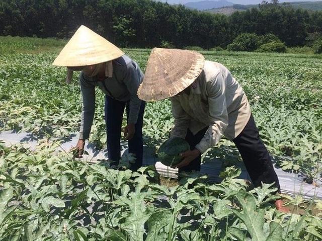 Quảng Ngãi:  Giá dưa hấu tăng kỷ lục, nông dân lãi khủng - 2