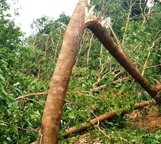 Lốc xoáy quật đổ cây rừng khiến 1 phụ nữ tử vong - 1