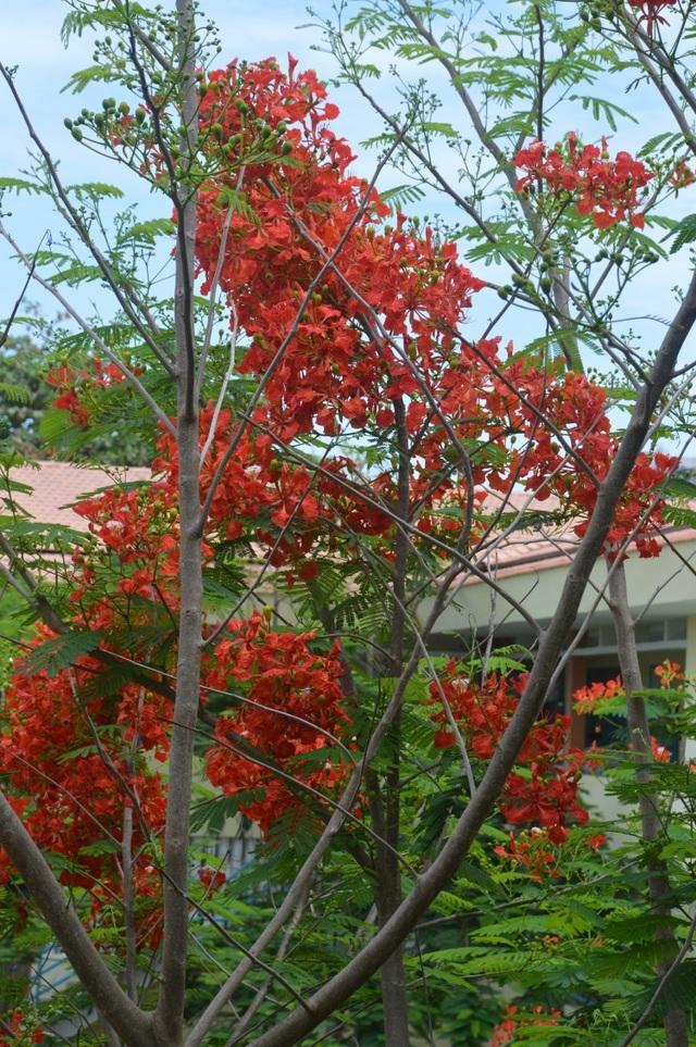 Man mác với mùa hoa học trò nở rộ vào hè - 1