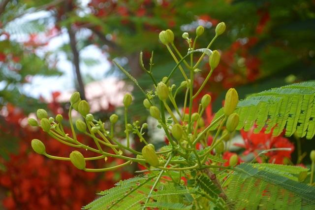 Man mác với mùa hoa học trò nở rộ vào hè - 9