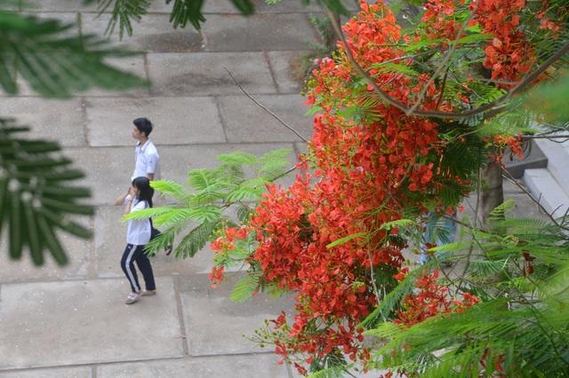 Man mác với mùa hoa học trò nở rộ vào hè - 10