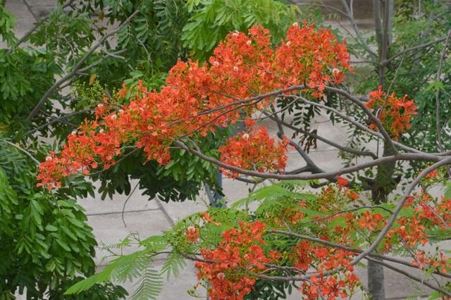 Man mác với mùa hoa học trò nở rộ vào hè - 4