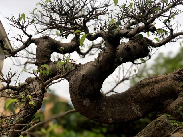Lấy cây sanh cùi ký vào phiến đá khá khù khoằm, 20 năm sau ra giá nửa tỷ đồng - 14