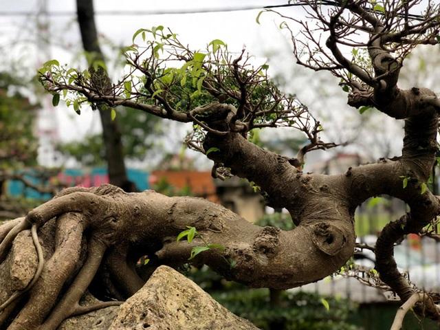 Lấy cây sanh cùi ký vào phiến đá khá khù khoằm, 20 năm sau ra giá nửa tỷ đồng - 6
