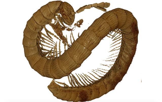Phát hiện hoá thạch rết cổ đại 99 triệu năm tuổi - 1