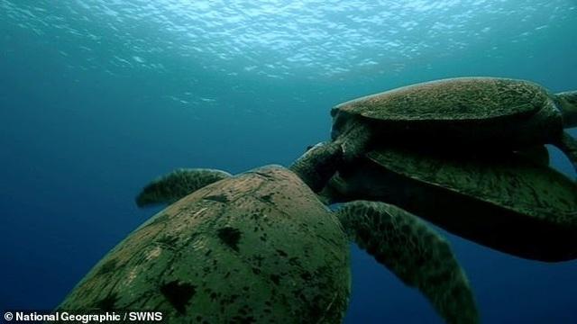 Rùa đực đánh nhau để tranh bạn tình khiến rùa cái ngộp thở suýt chết - 1