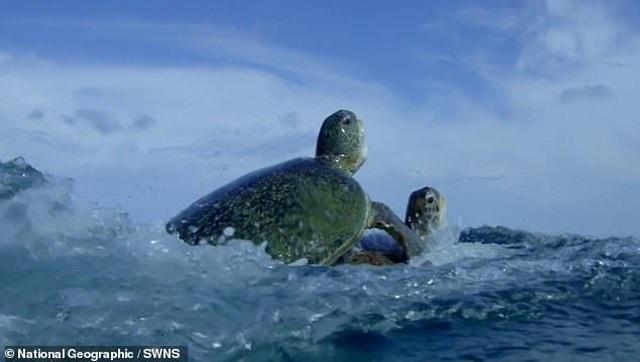 Rùa đực đánh nhau để tranh bạn tình khiến rùa cái ngộp thở suýt chết - 4